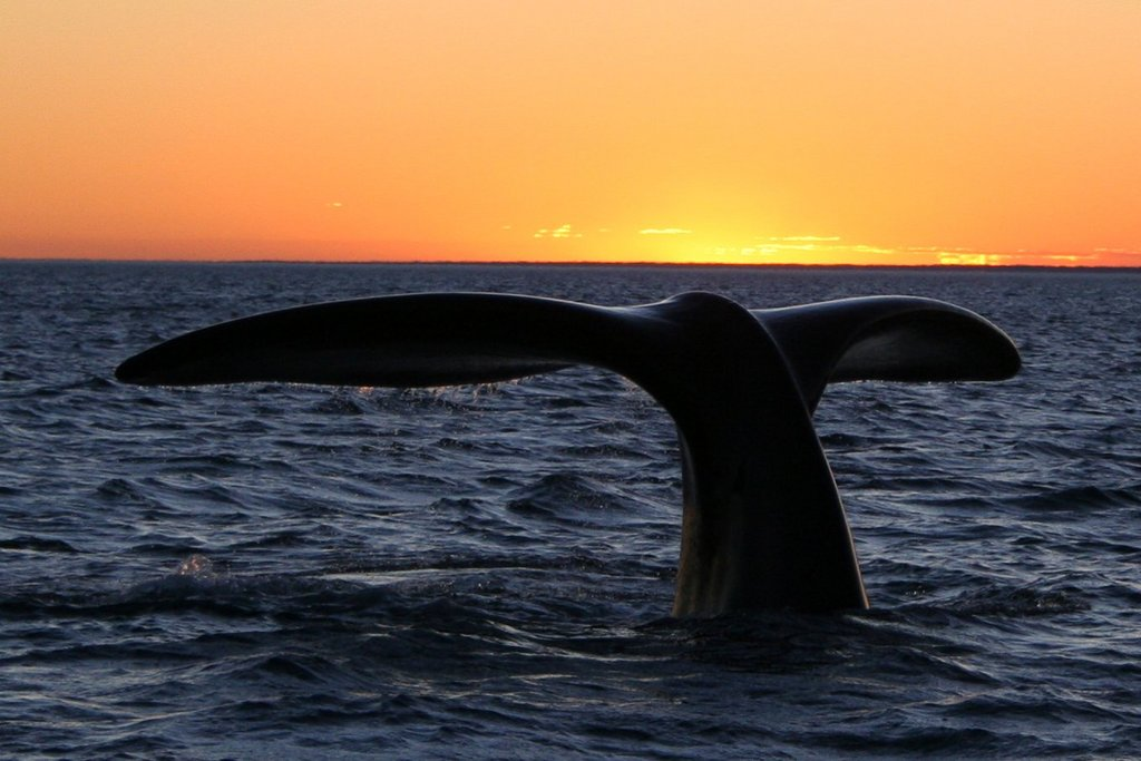 Whale watching at the Valdés Peninsula - Photo © Michael Catanzariti @ Wikimedia Commons