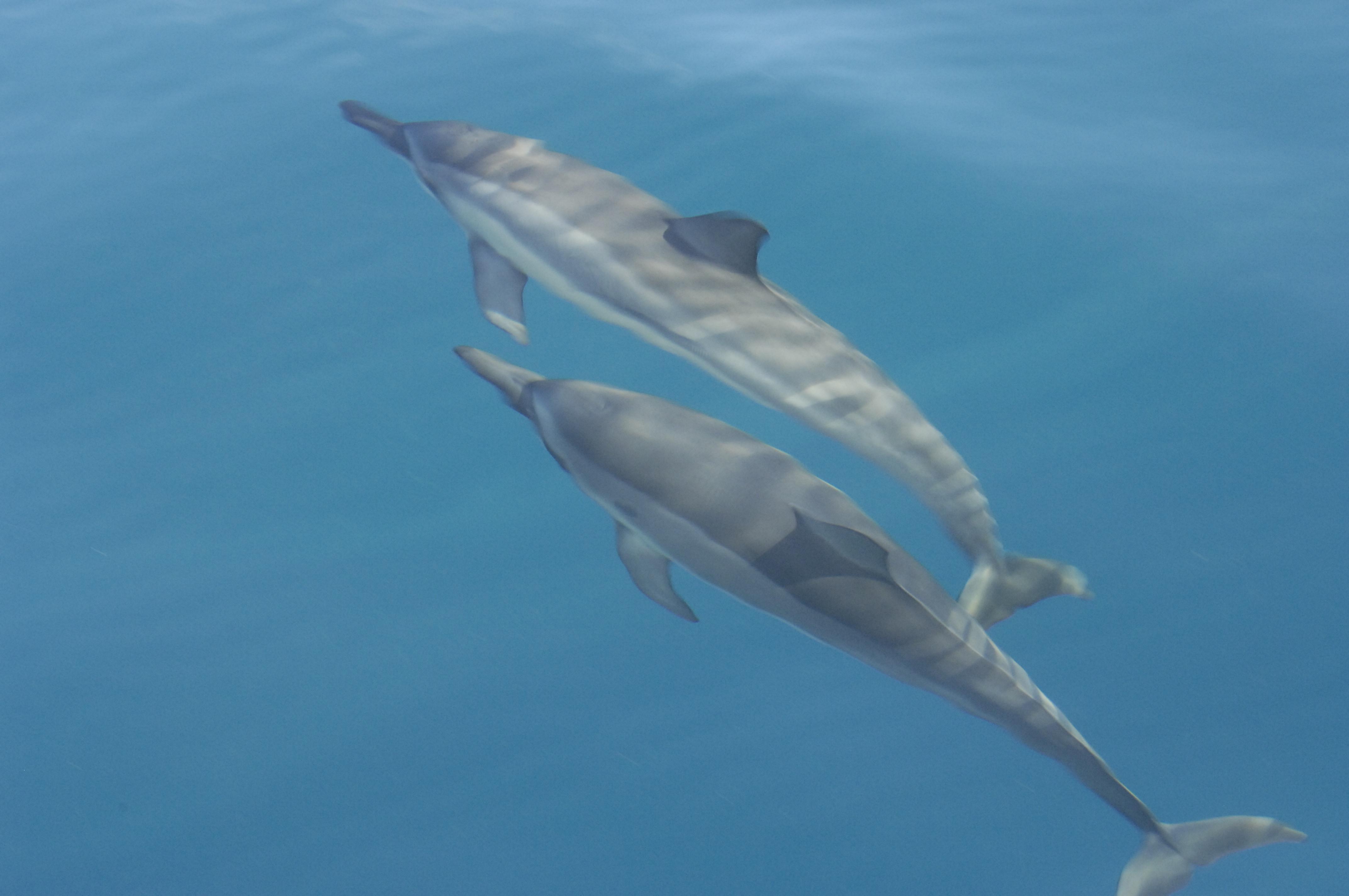 Ostpazifischer Delfin / Spinnerdelfin – Stenella longirostris