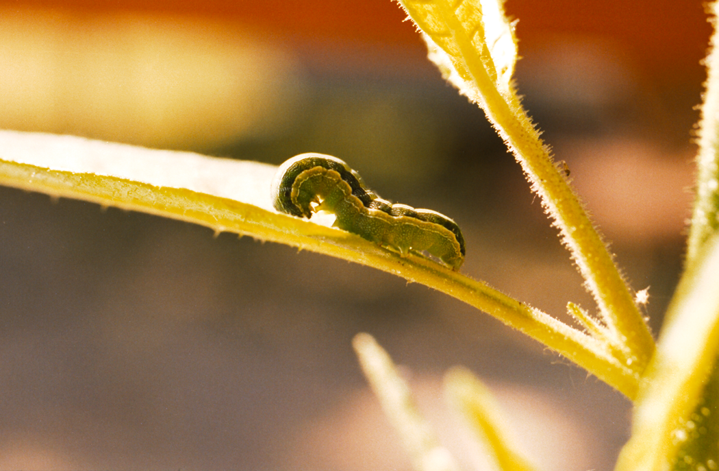 Beet armyworm photo courtesy of the Public Library of Science