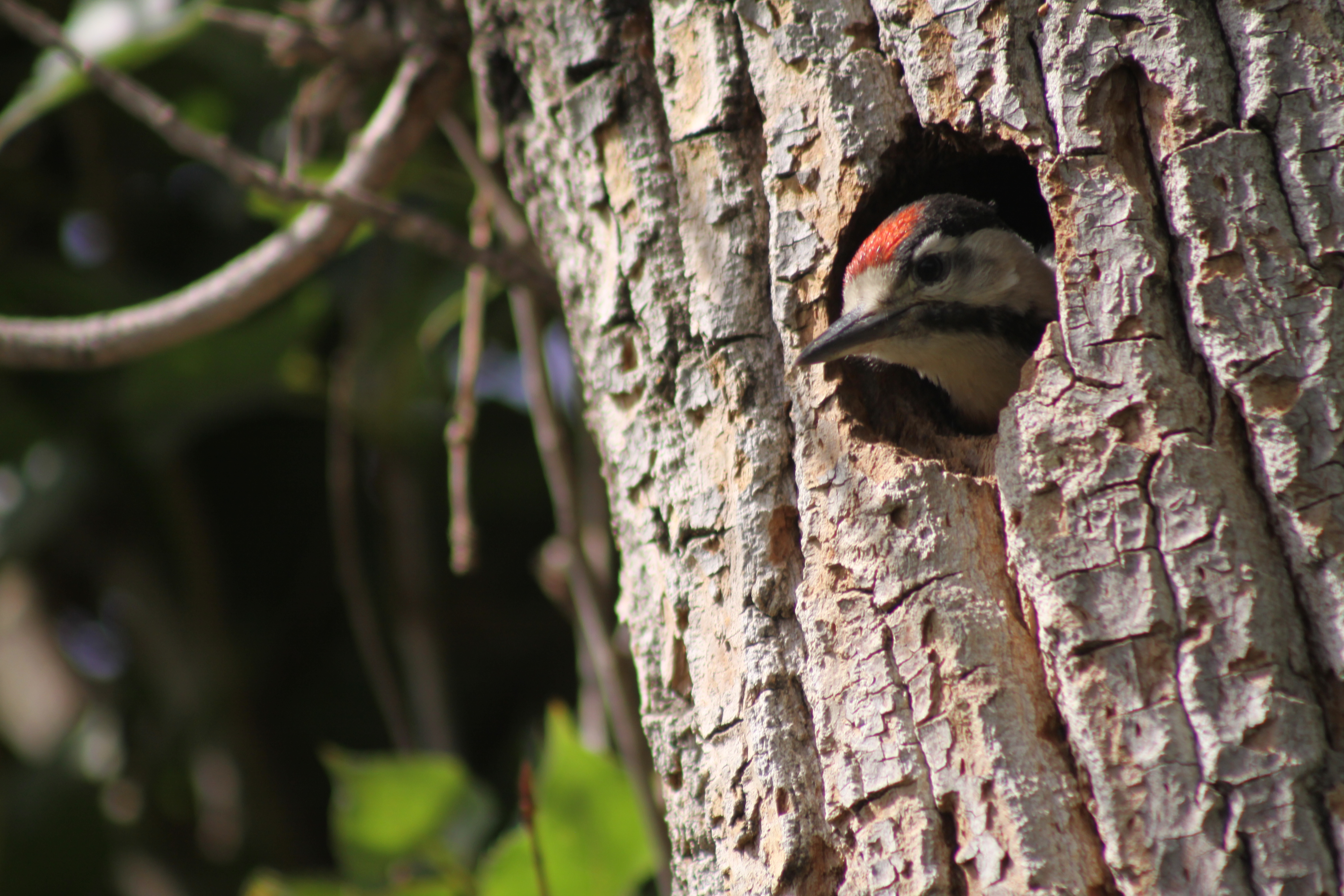Pileated Woodpecker Drawing File:Syrian Woodpecker...