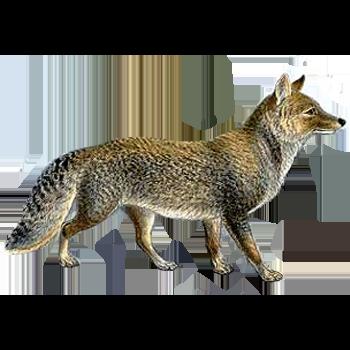 File Tibetan Sand Fox Illustration Transparent Background Png