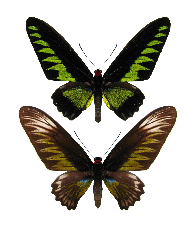 Trogonoptera brookiana 0588 JPG