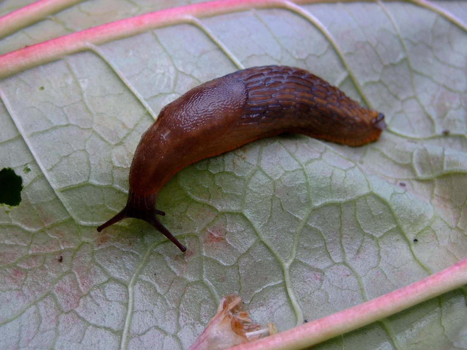 File unknown slug on wikipedia for Caracoles de jardin