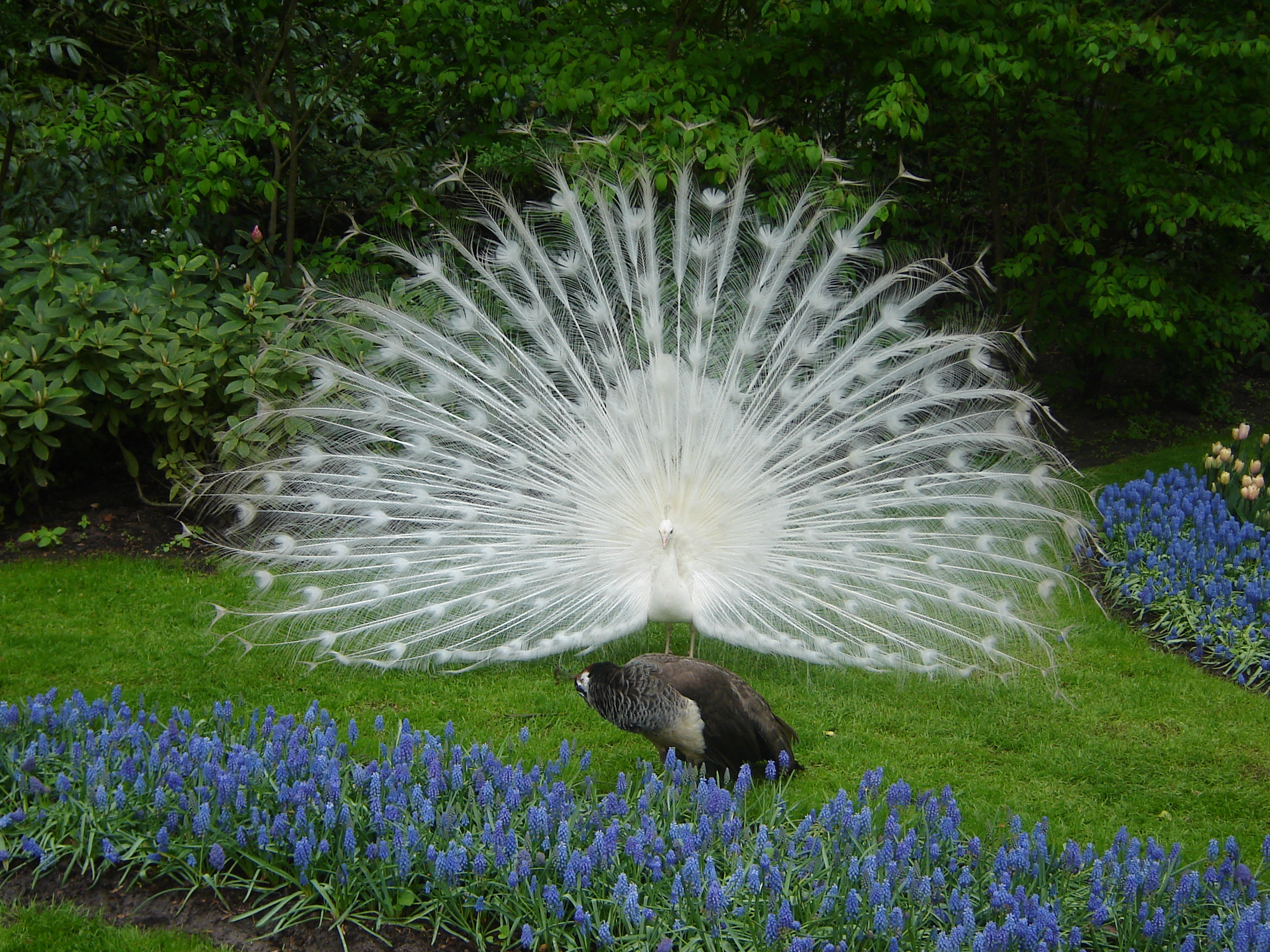 File white peacock keukenhof jpg wikimedia commons for Imagenes de jardines exoticos
