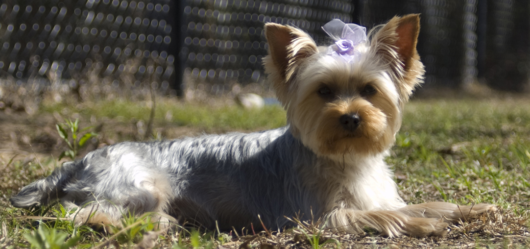 Yorkshire Terrier Wikipedia