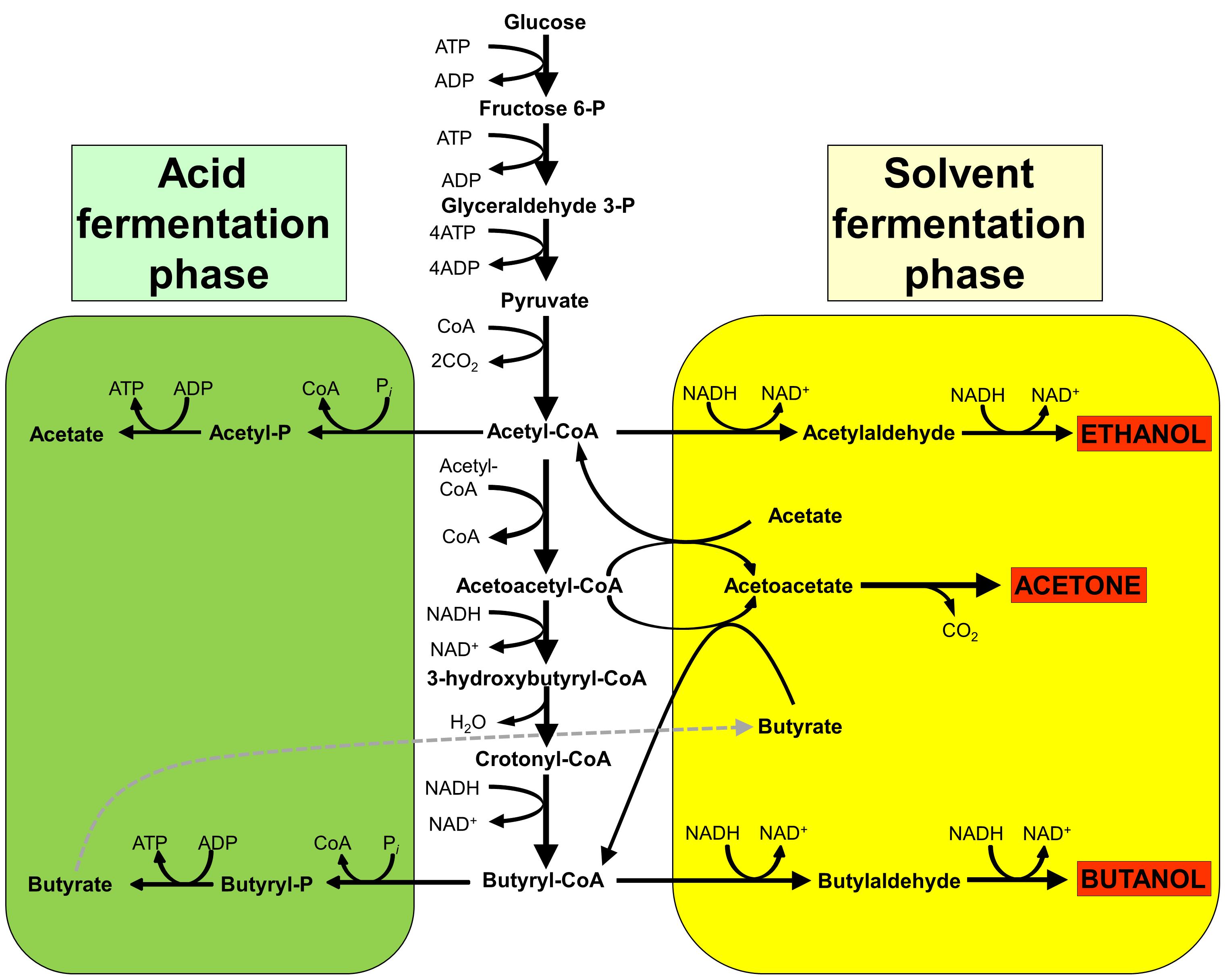 acetone–butanol–ethanol fermentation - wikipedia