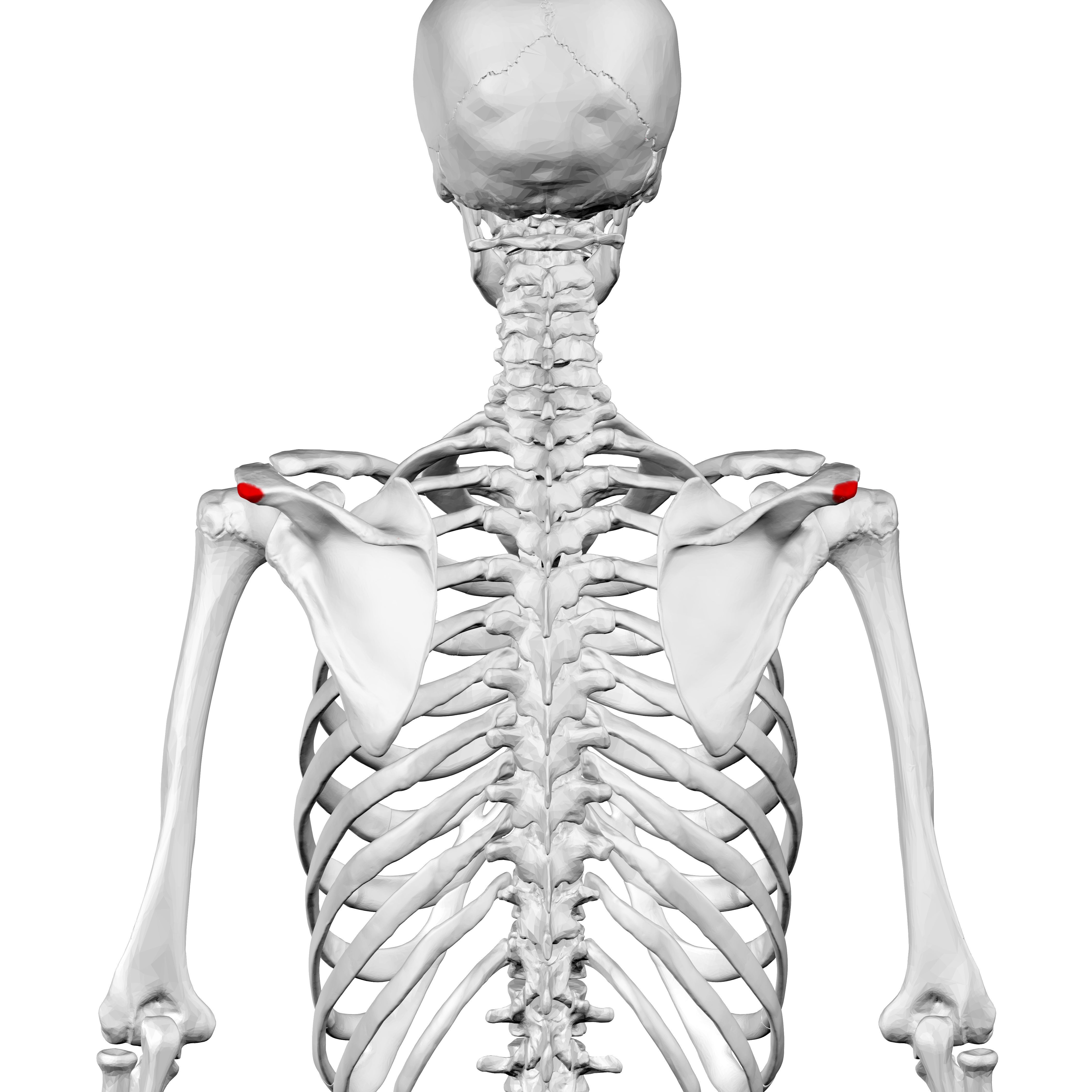 file acromial angle of scapula01 png wikimedia commons