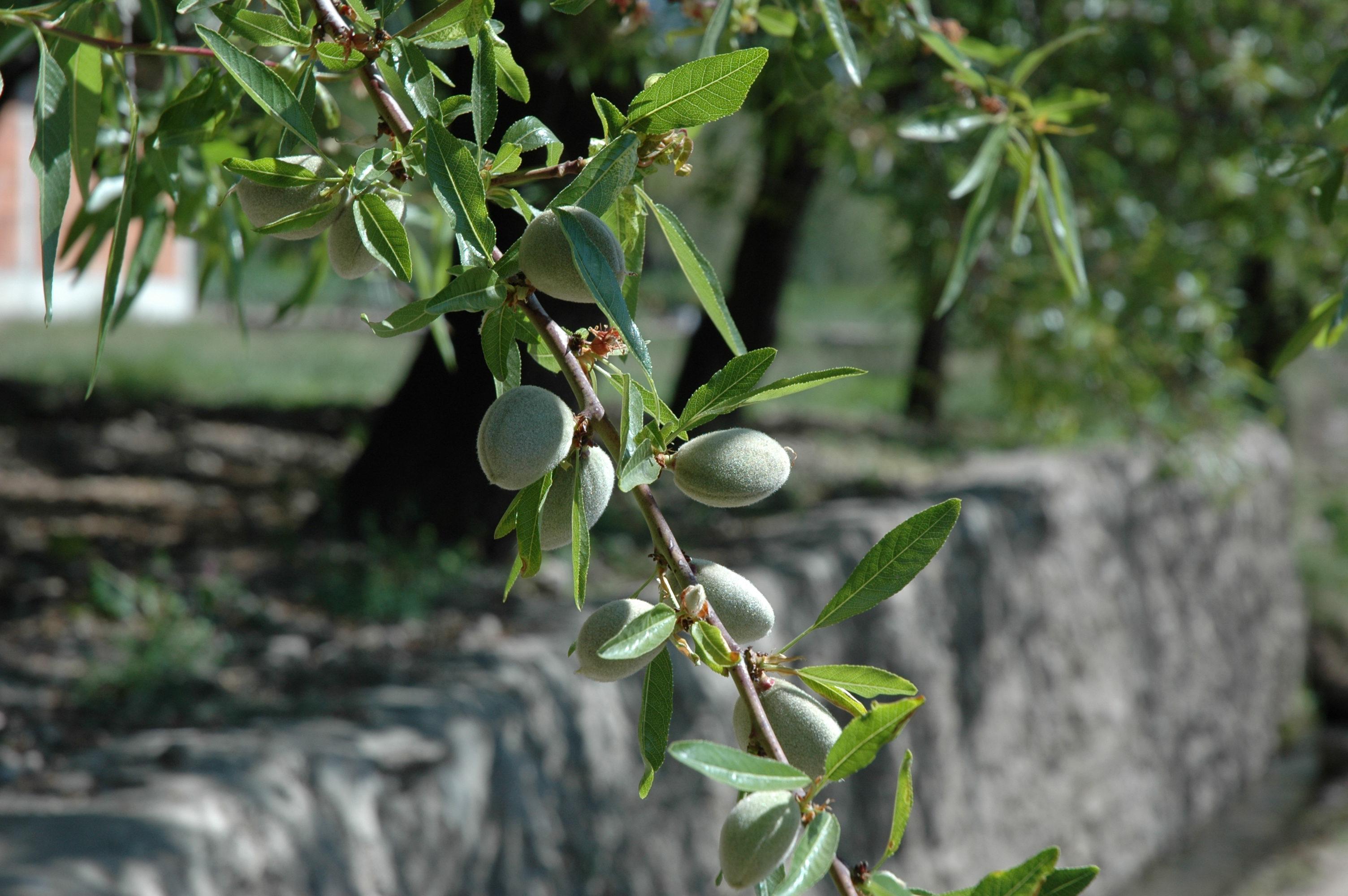 File almond tree g wikimedia commons
