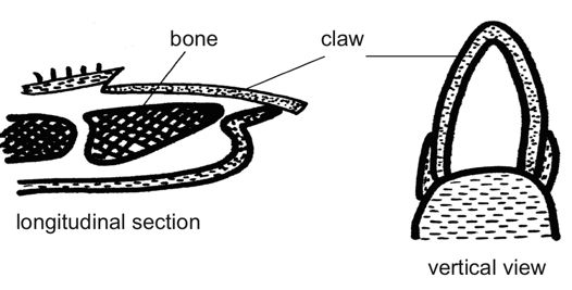 Anatomy and physiology of animals Carnivors claw.jpg