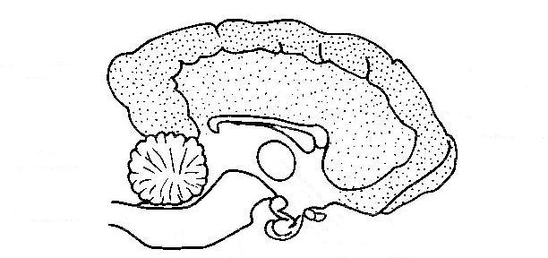 Anatomy and physiology unlabeled LS dog's brain.jpg