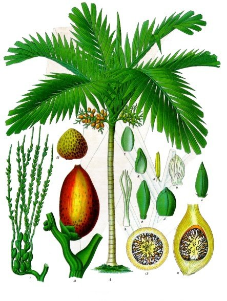 Areca catechu - Köhler–s Medizinal-Pflanzen-014.jpg