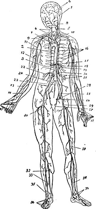 [تصویر:  Arteriessystem.png]