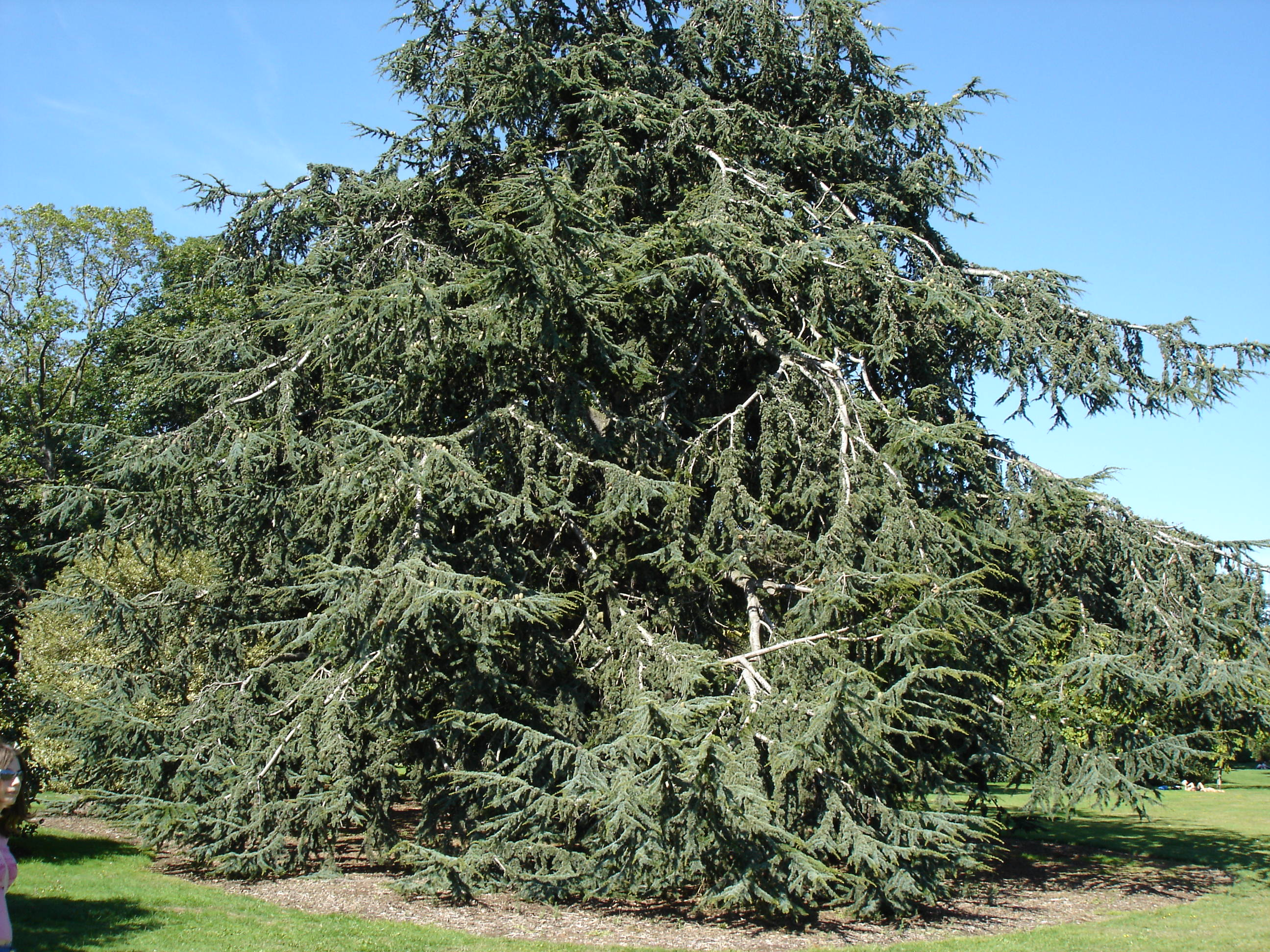 how to kill a cedar tree