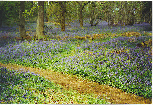 Bluebells at Winkworth Arboretum. - geograph.org.uk - 136566