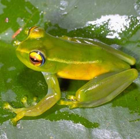Boophis andohahela — Wikipédia