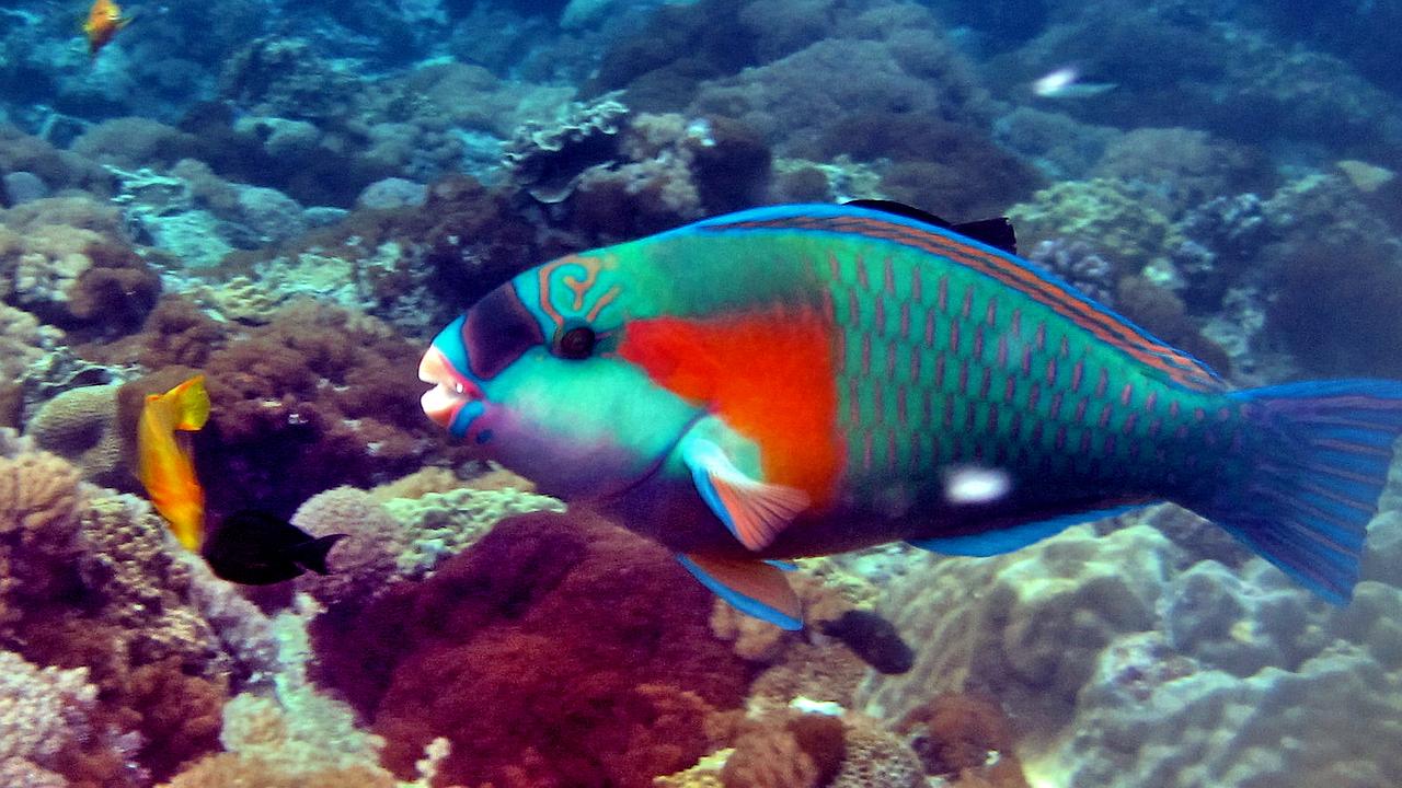 File Bower S Parrotfish Jpg Wikimedia Commons