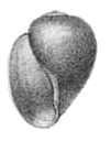 <i>Bulinus jousseaumei</i> Species of gastropod