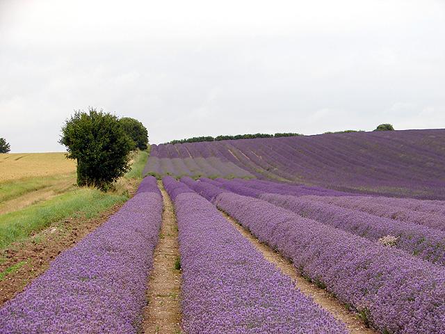 File:Cadwell Farm - Hitchin Lavender - 10 - geograph.org.uk - 889952.jpg