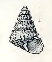 Calliotropis tiara 001.jpg