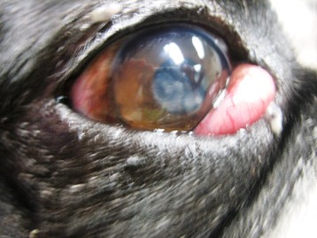 Description Cherry Eye in Small Mixed Breed Dog.jpg
