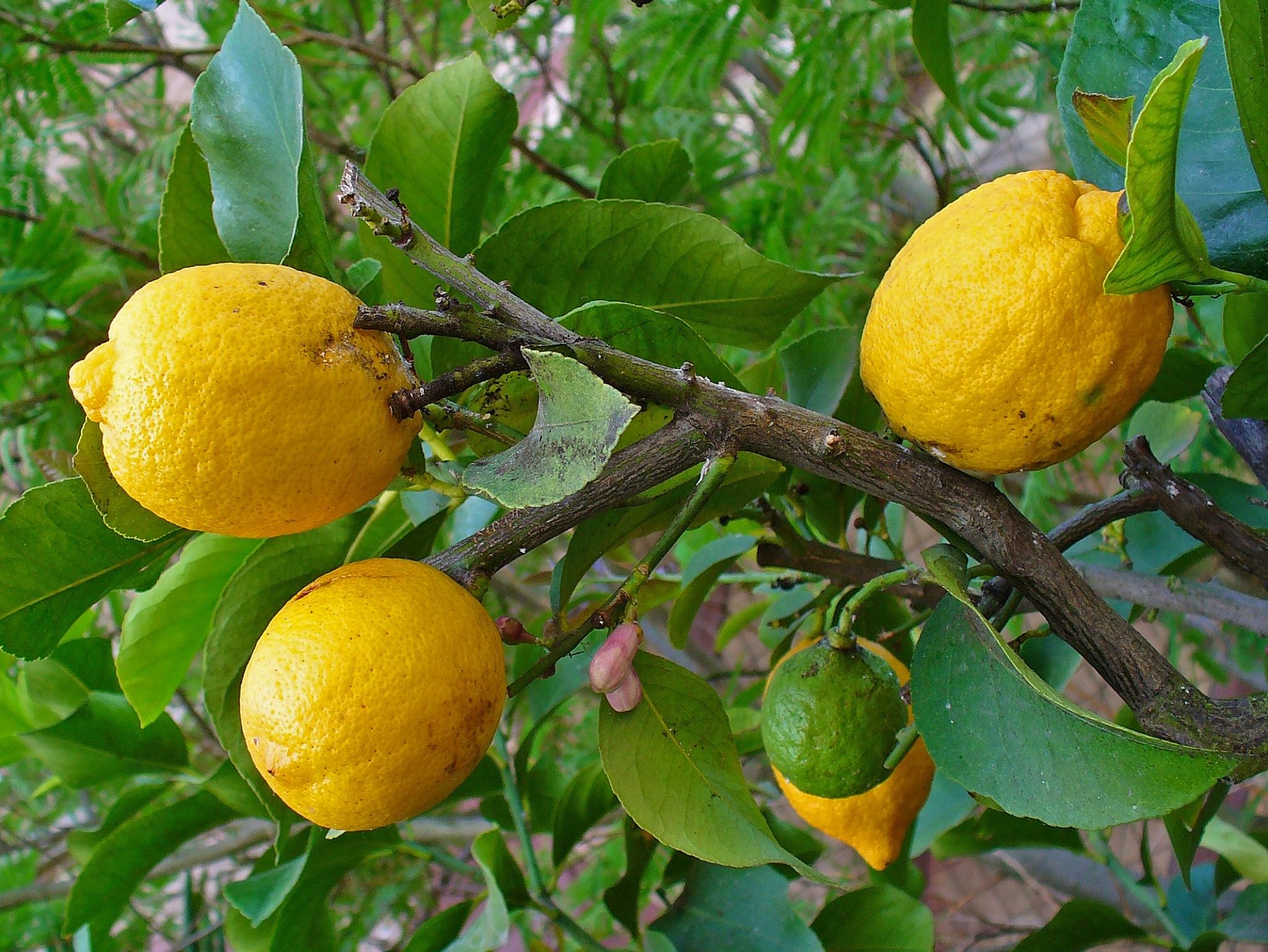 Archivo citrus medica 002 jpg wikipedia la enciclopedia for Lista de arboles frutales de hoja perenne