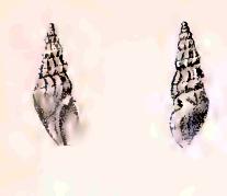 <i>Clavus burnupi</i> Species of gastropod