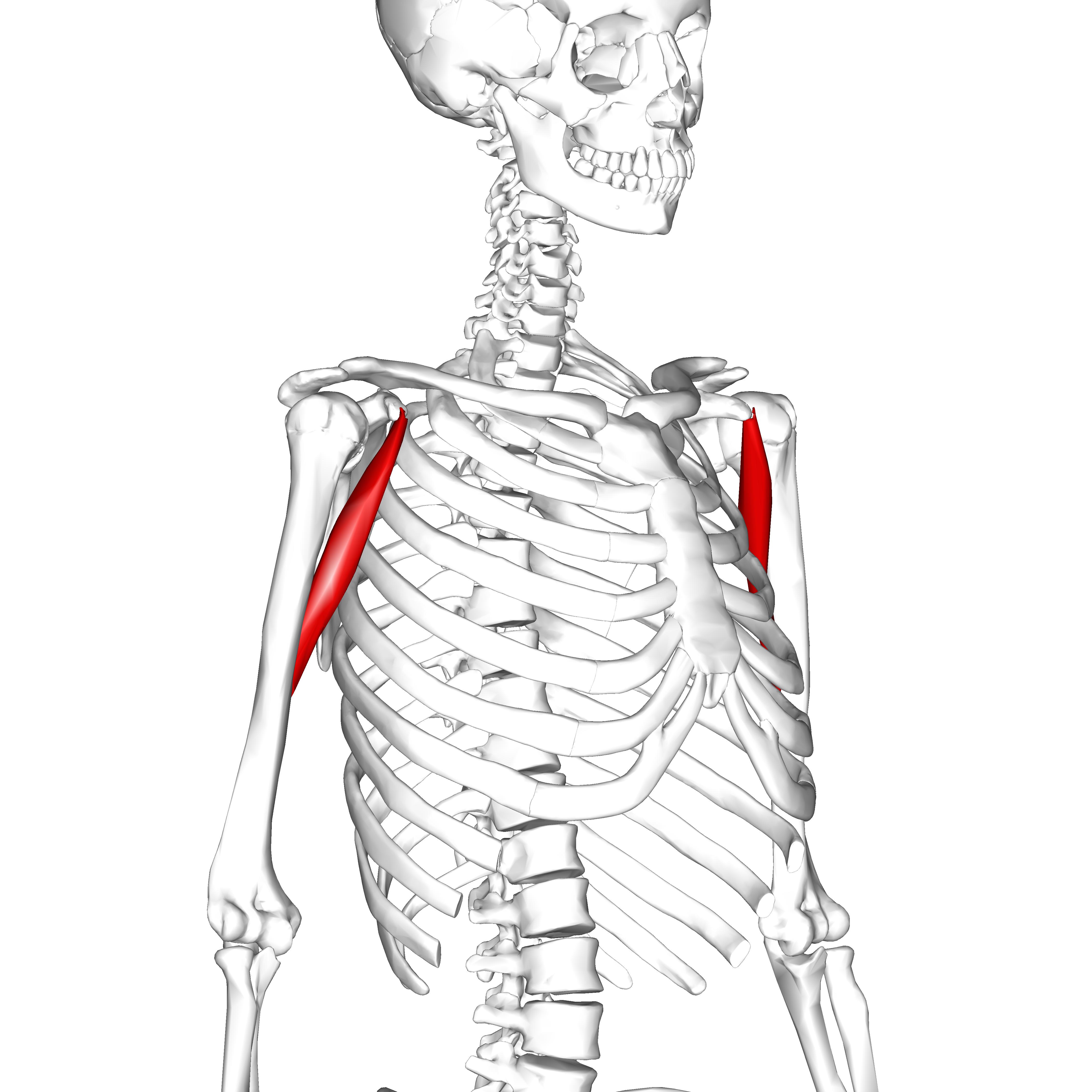 File:Coracobrachialis muscle07.png - Wikimedia Commons