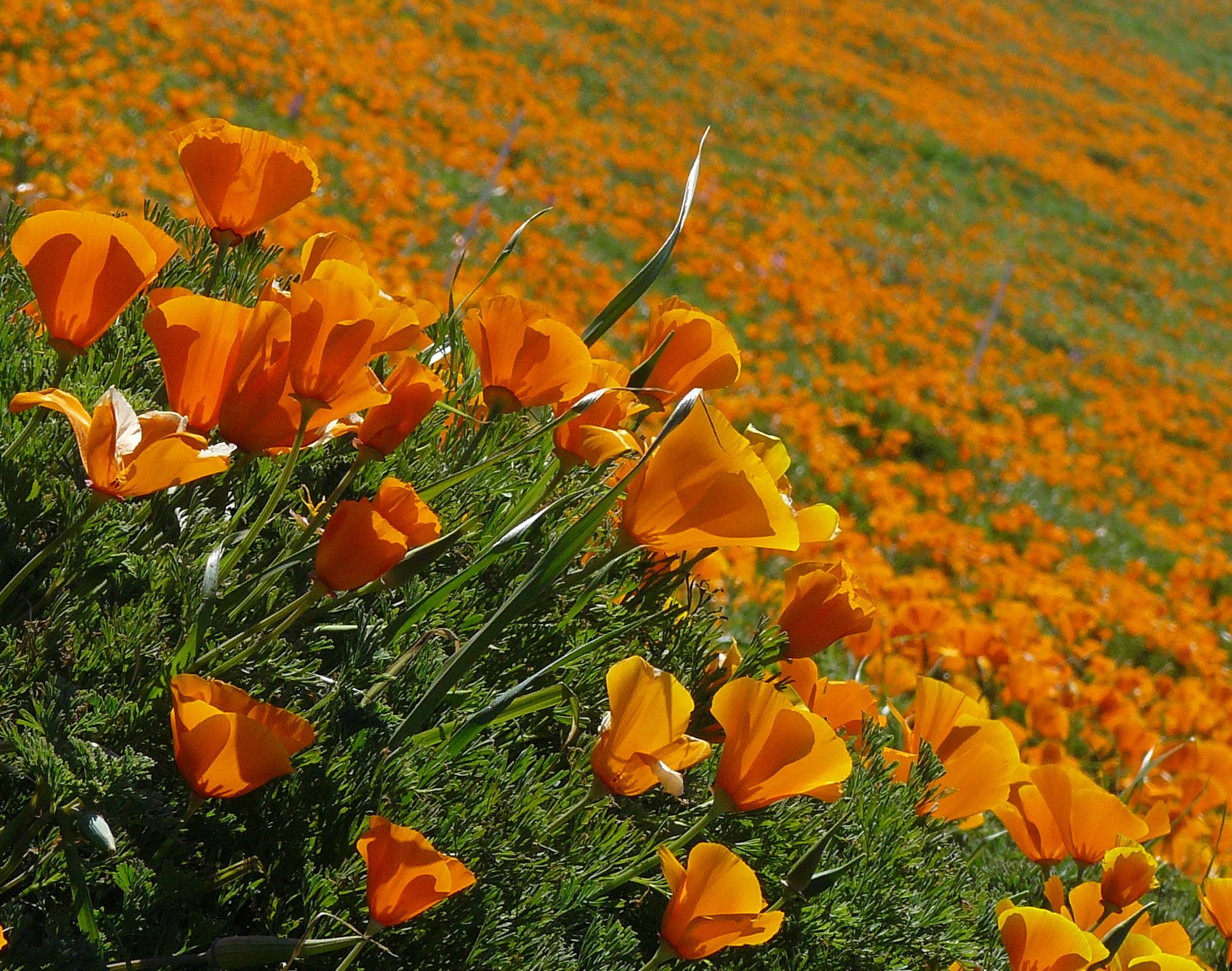 Succulents and more california poppy dreamin for Plante orange