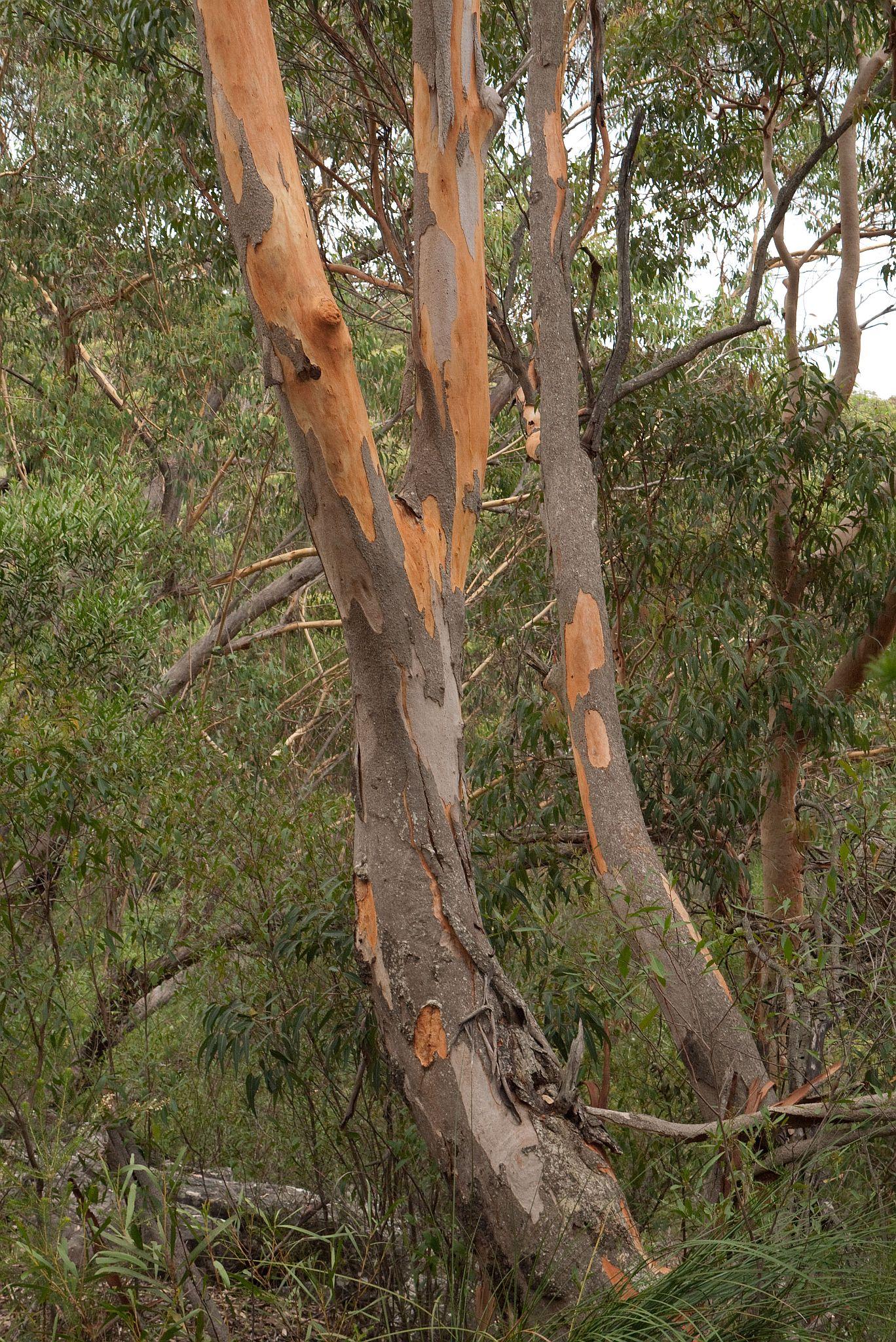 Eucalyptus Punctata Wikipedia