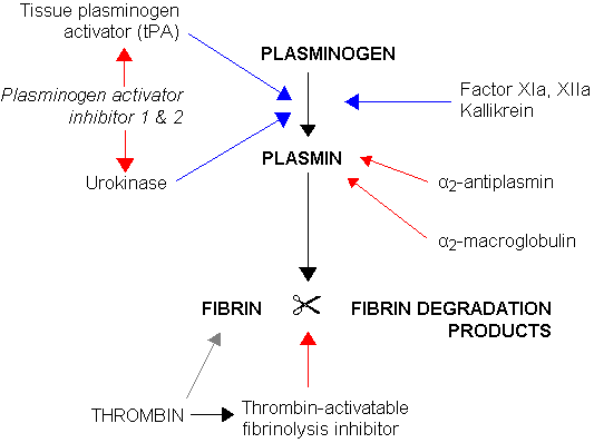 Fibrinolysis (simplified). Blue arrows denote stimulation, and red