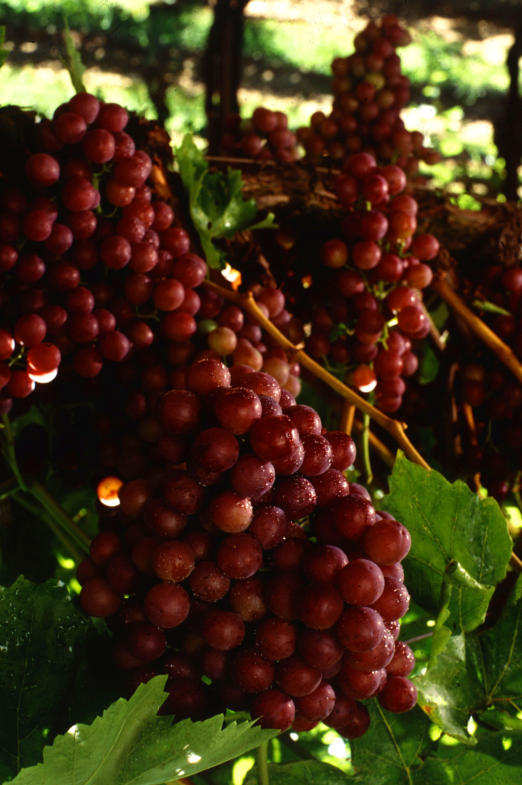 Flame seedless wikipedia for Table grapes