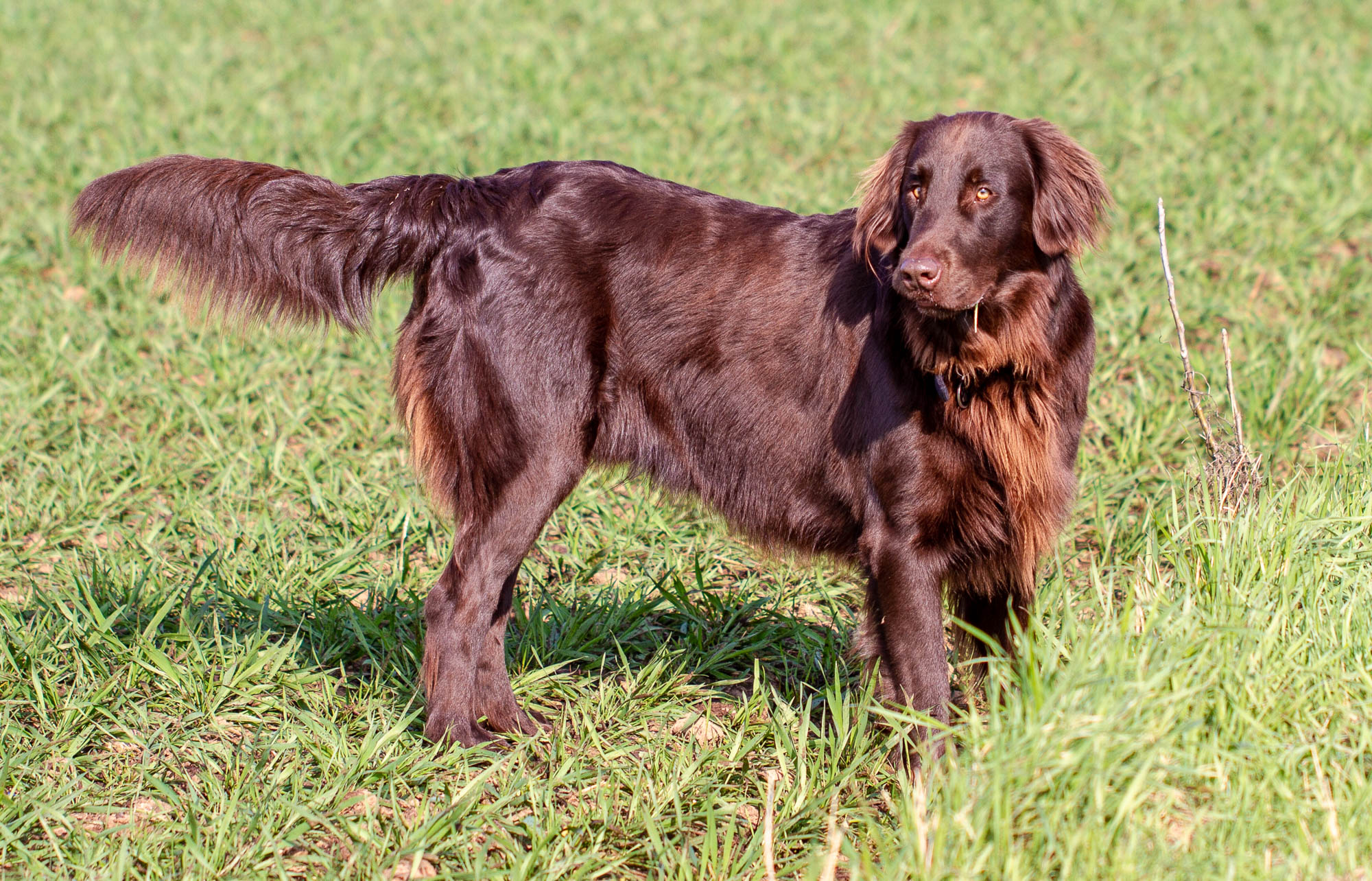 Image result for Flat-Coated Retriever