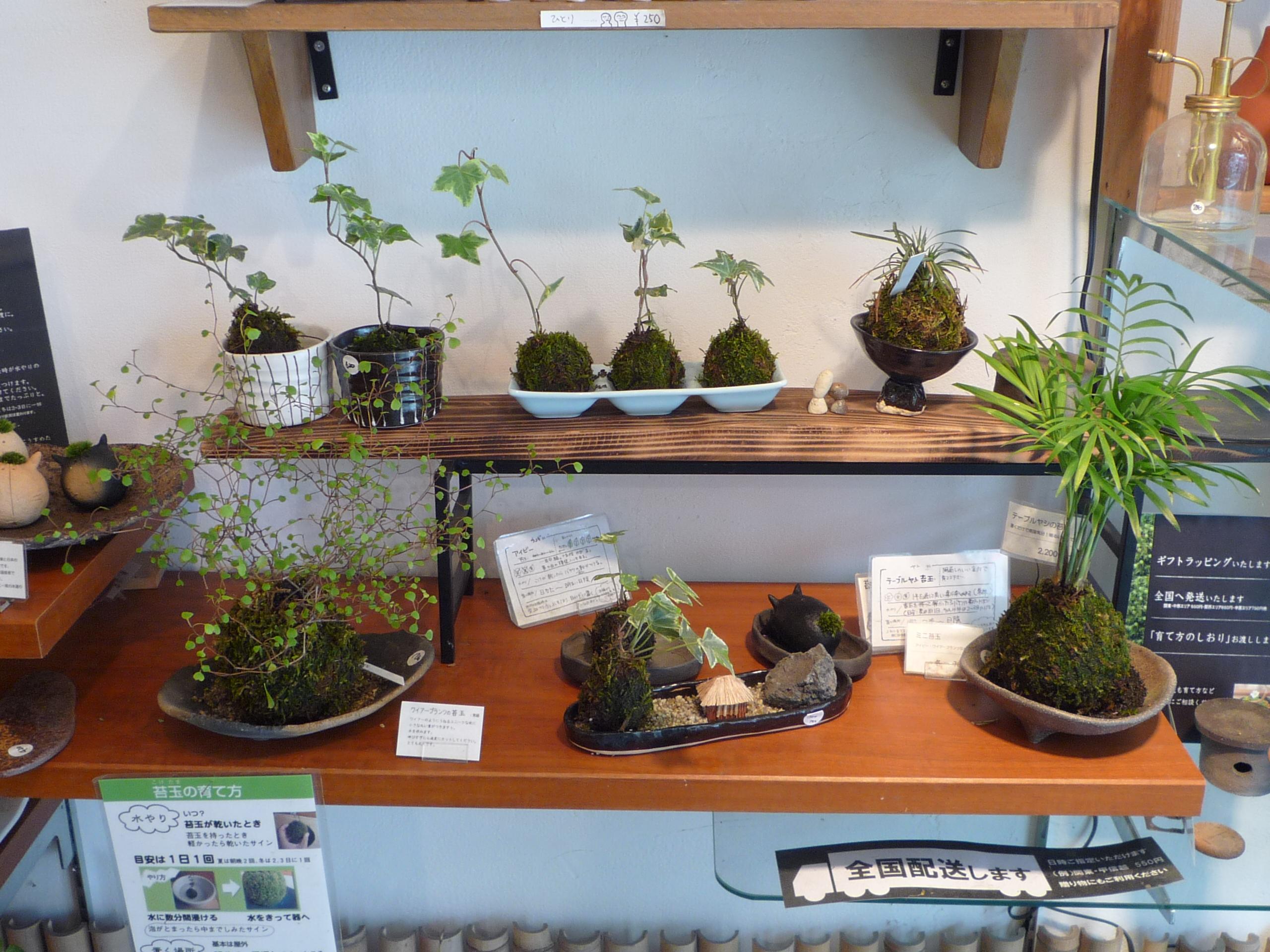 File:Fleuriste de kokedama a Kyoto.JPG