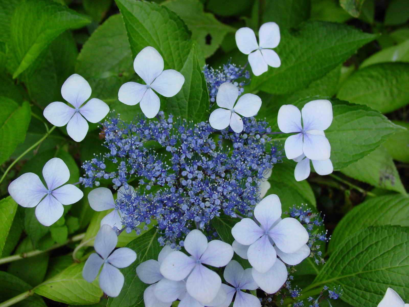 Hydrangea 画像 ようこそ、驚きと癒しの世界へ! 【花の接写】 画像集 Naver まとめ