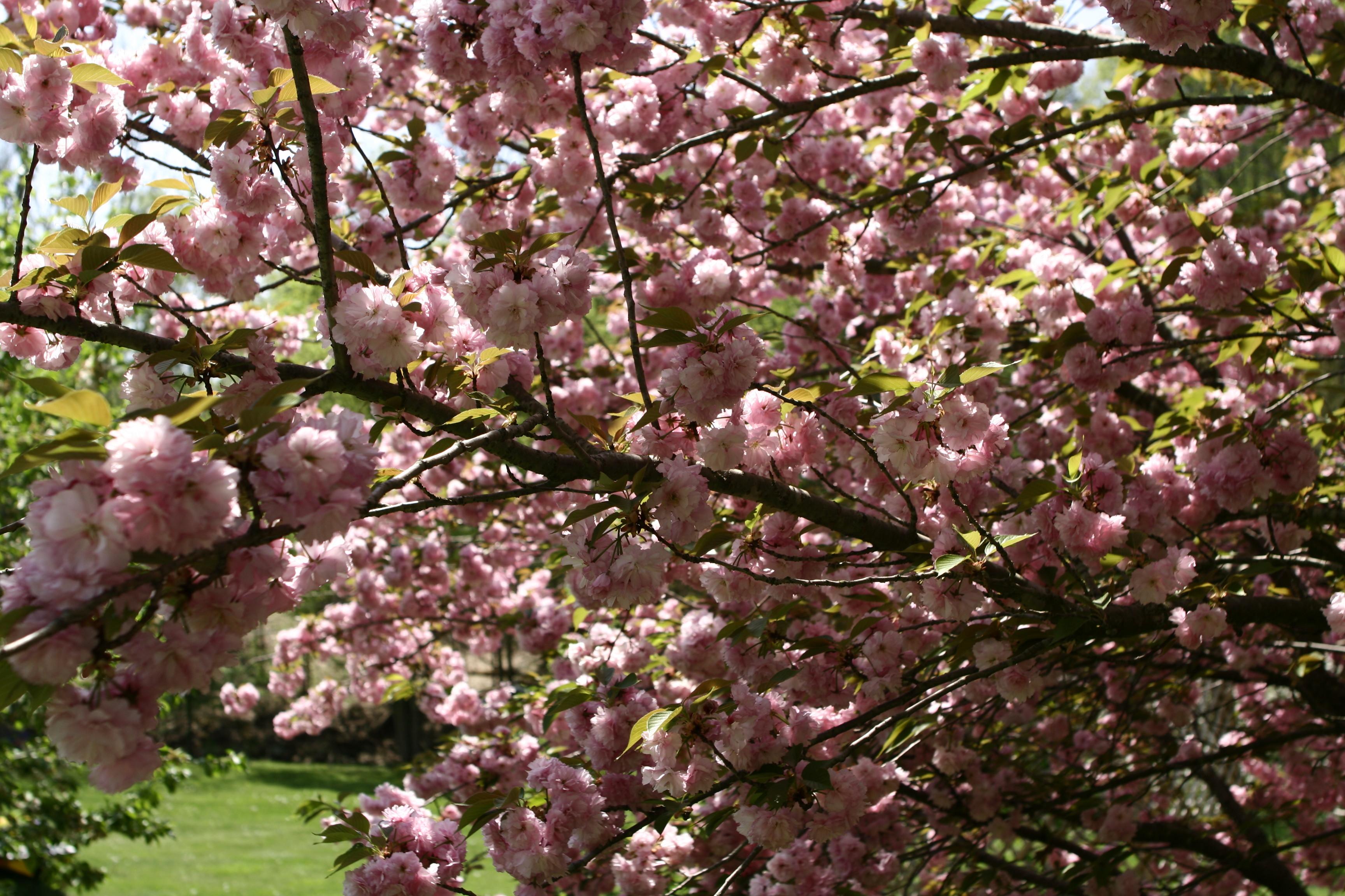 File Flowering spring tree West Virginia ForestWander