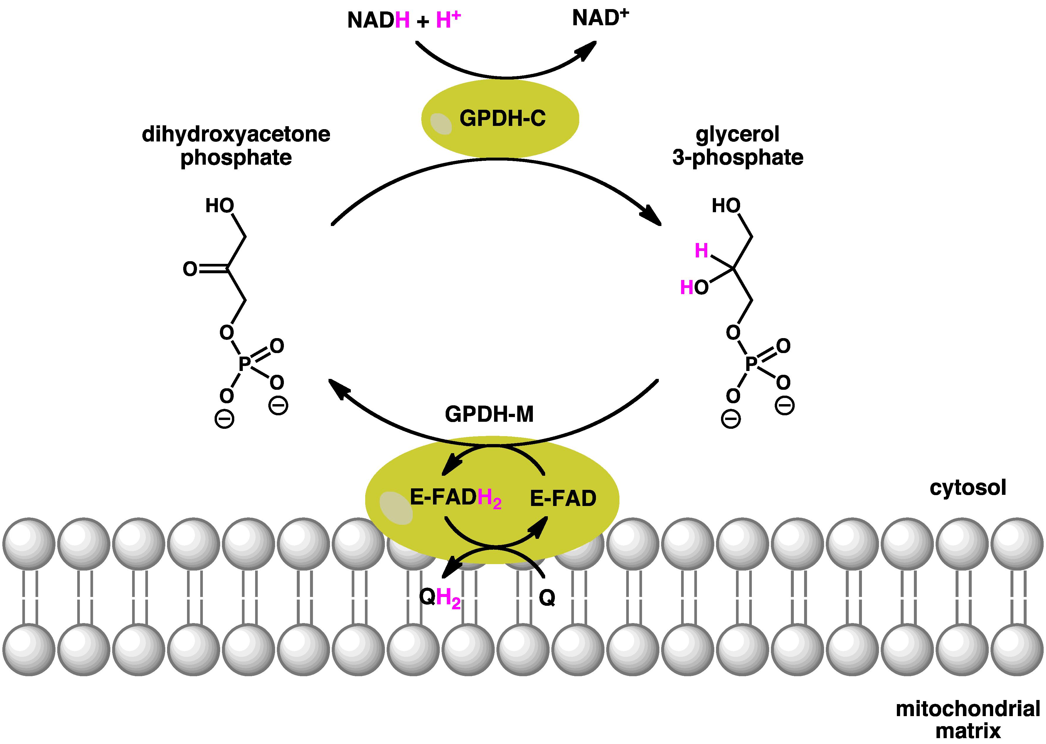 Glycerol-3-phosphate dehydrogenase - Wikiwand