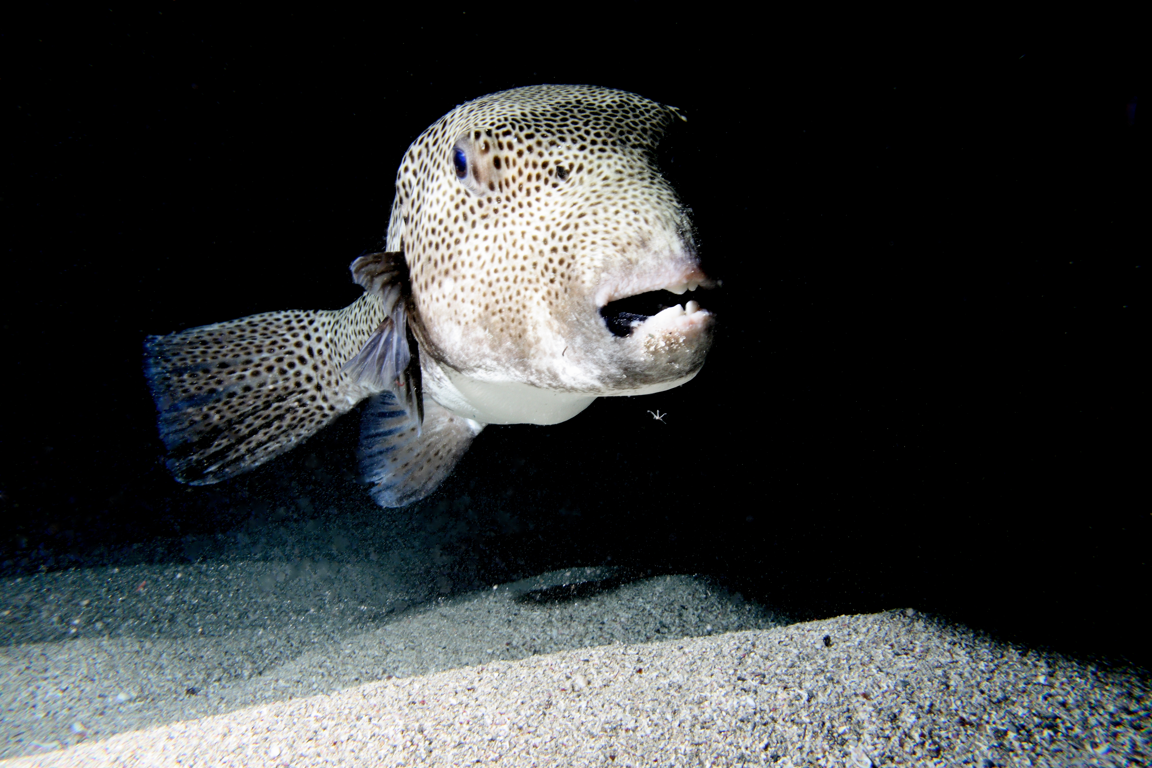 File giant pufferfish jpg wikimedia commons for Giant puffer fish