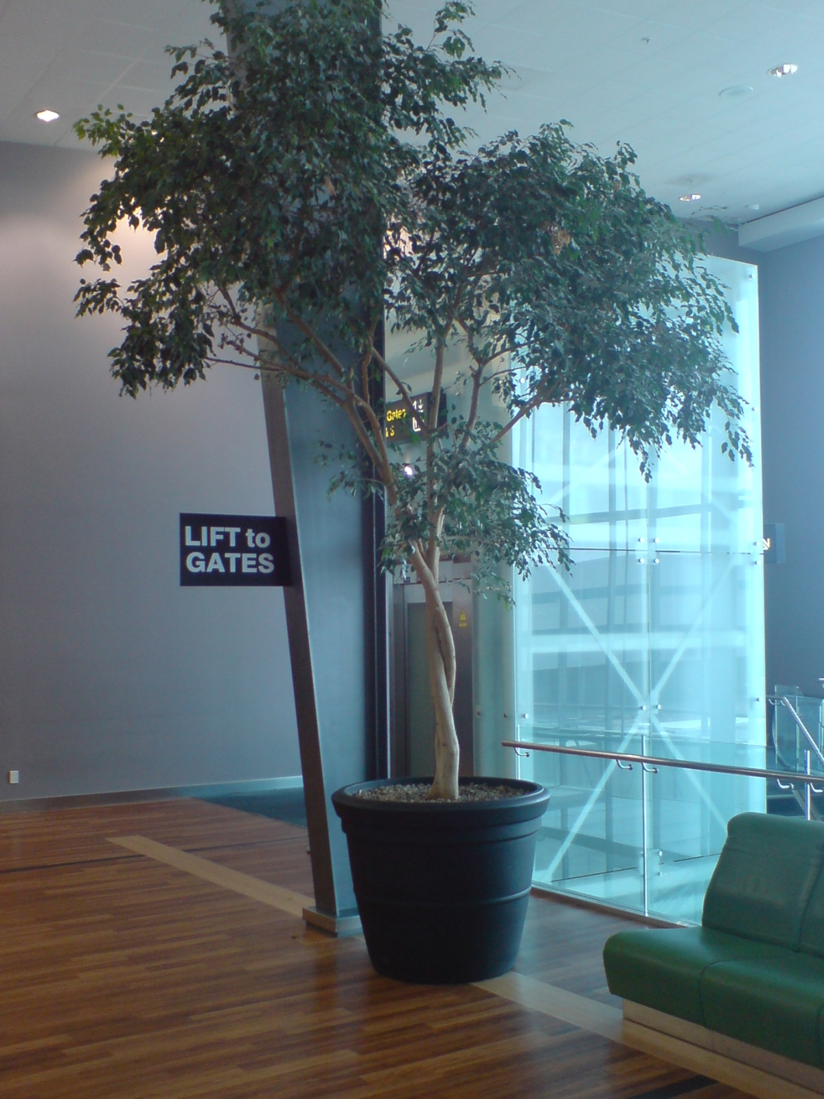 File:Gigantic Potted Tree Auckland Airport.jpg - Wikimedia Commons