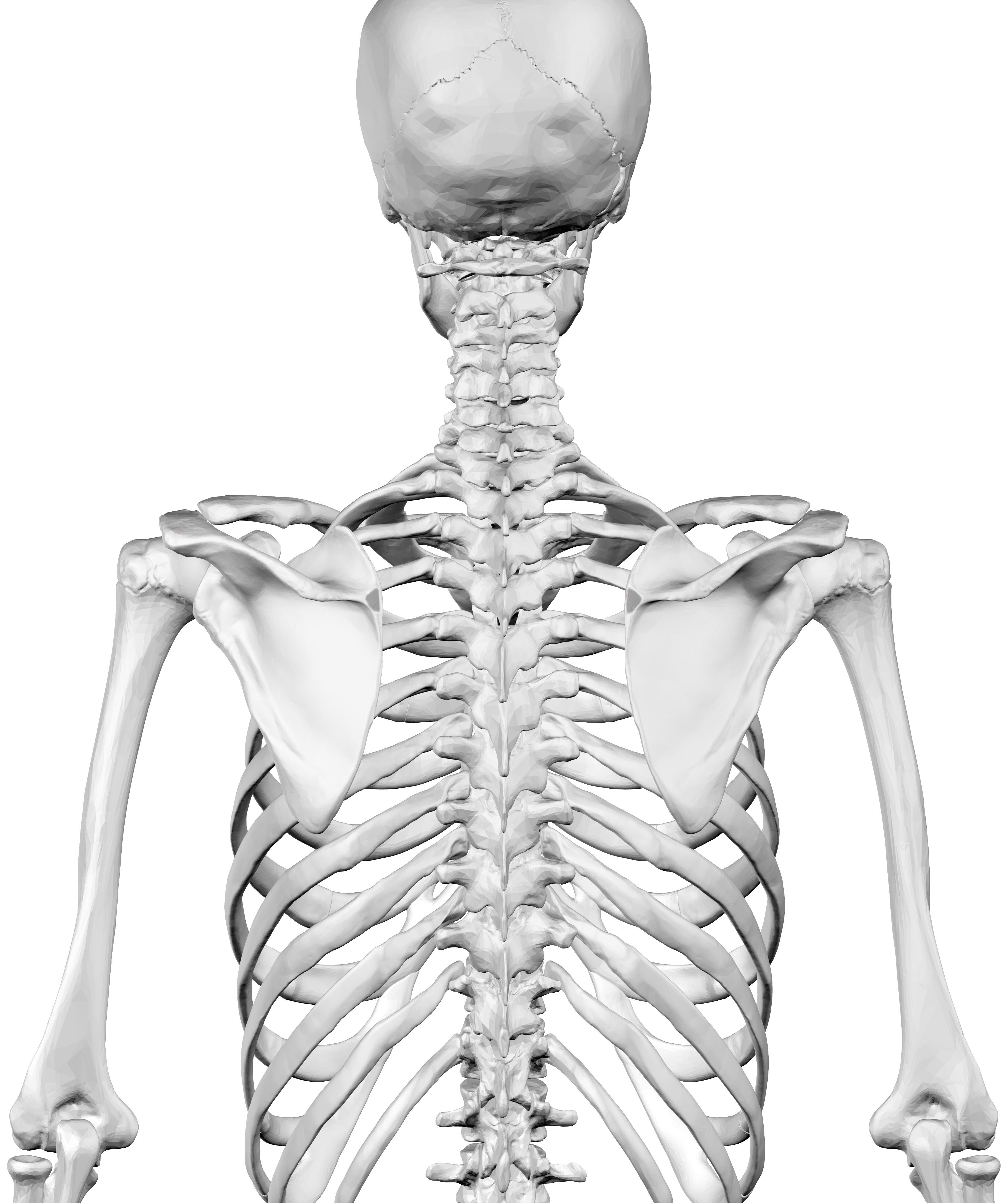 Filehuman Skeleton Upper Body Posterior Viewg Wikimedia Commons