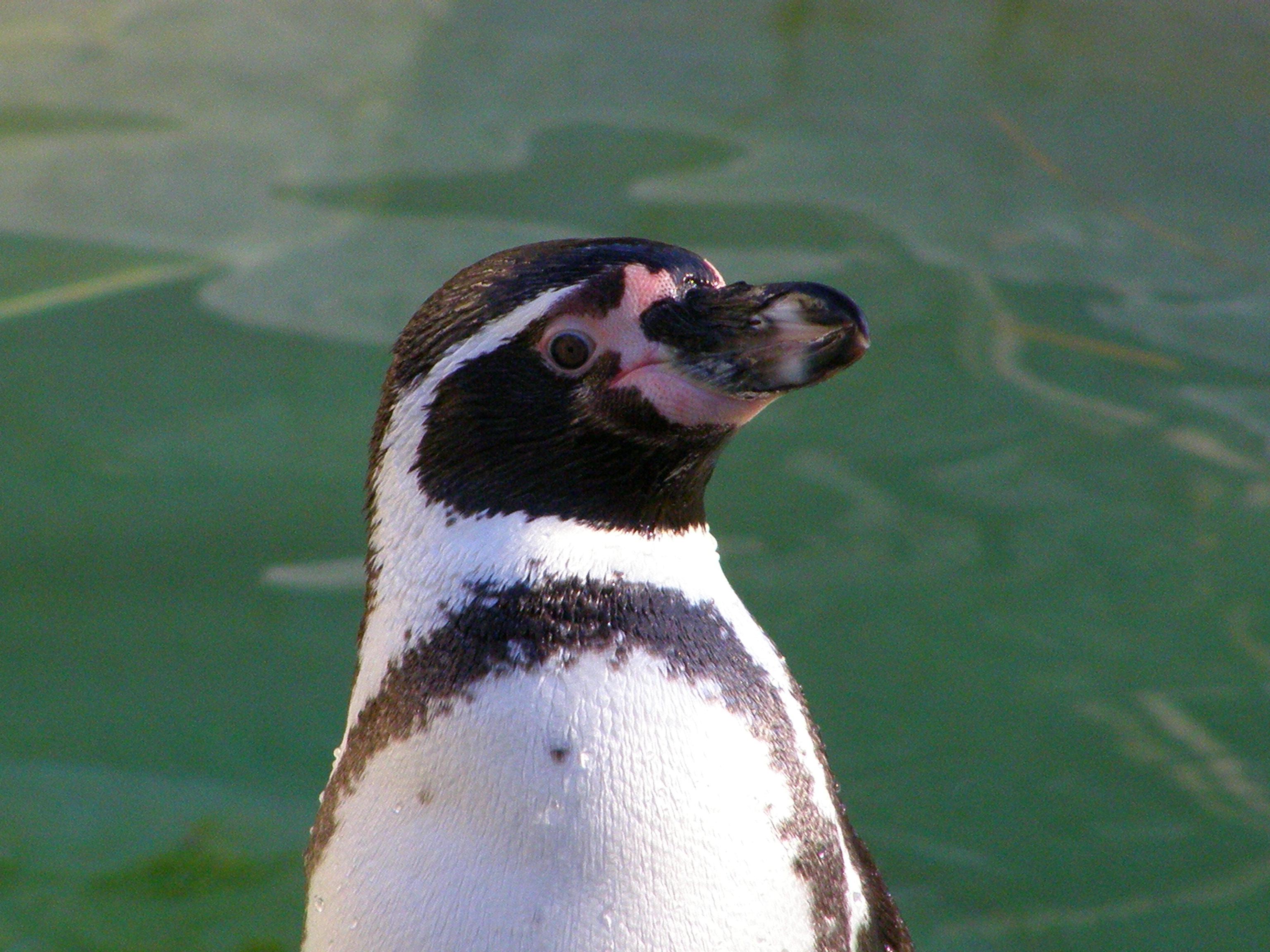 Description Humboldt Penguin (Spheniscus humboldti)-upper body.jpg