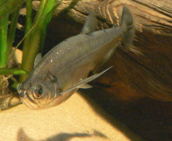 The dog toother characin is definitely not the most beautiful freshwater fish