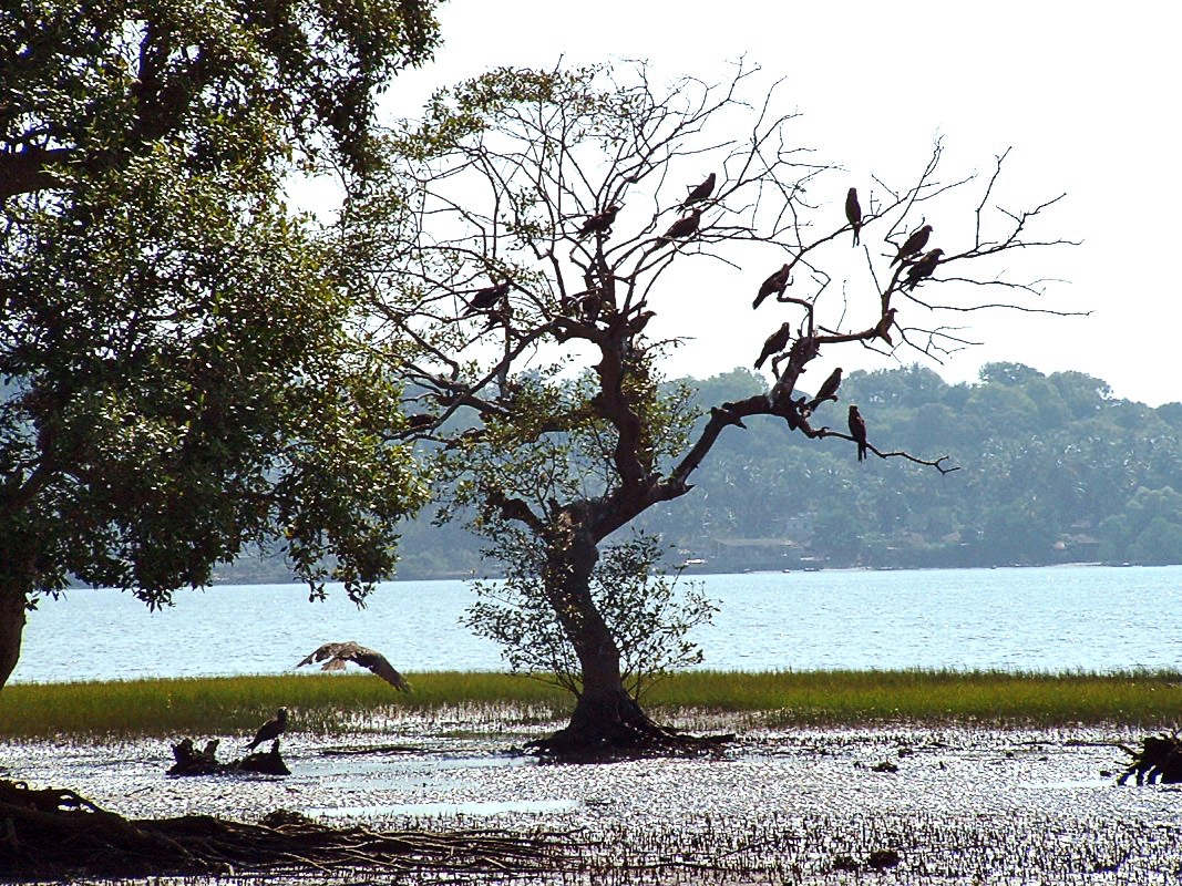 Salim Ali Bird Sanctuary in Goa Salim Ali Bird Sanctuary is
