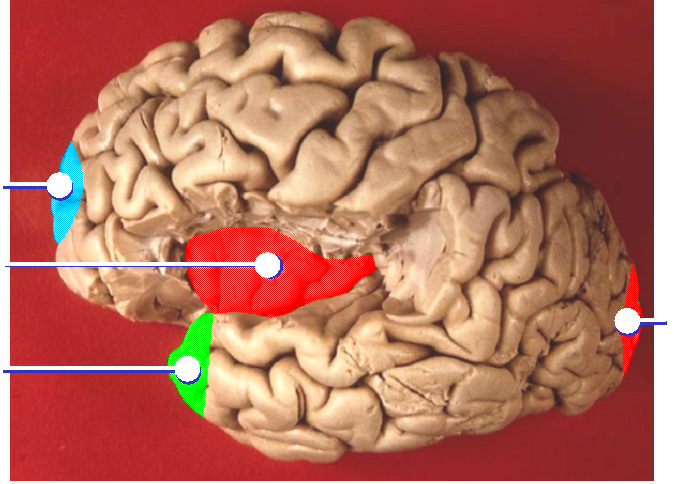 File:Insula and poles of brain lobes.png - Wikimedia Commons