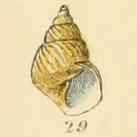 <i>Lacuna</i> (gastropod)