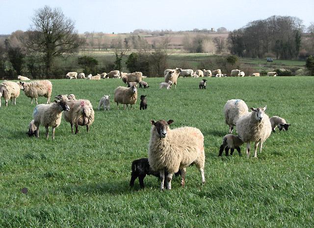 File:Lambs galore - geograph.org.uk - 722920.jpg