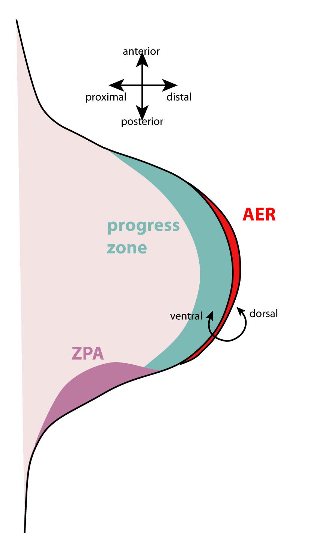 Apical Ectodermal Ridge