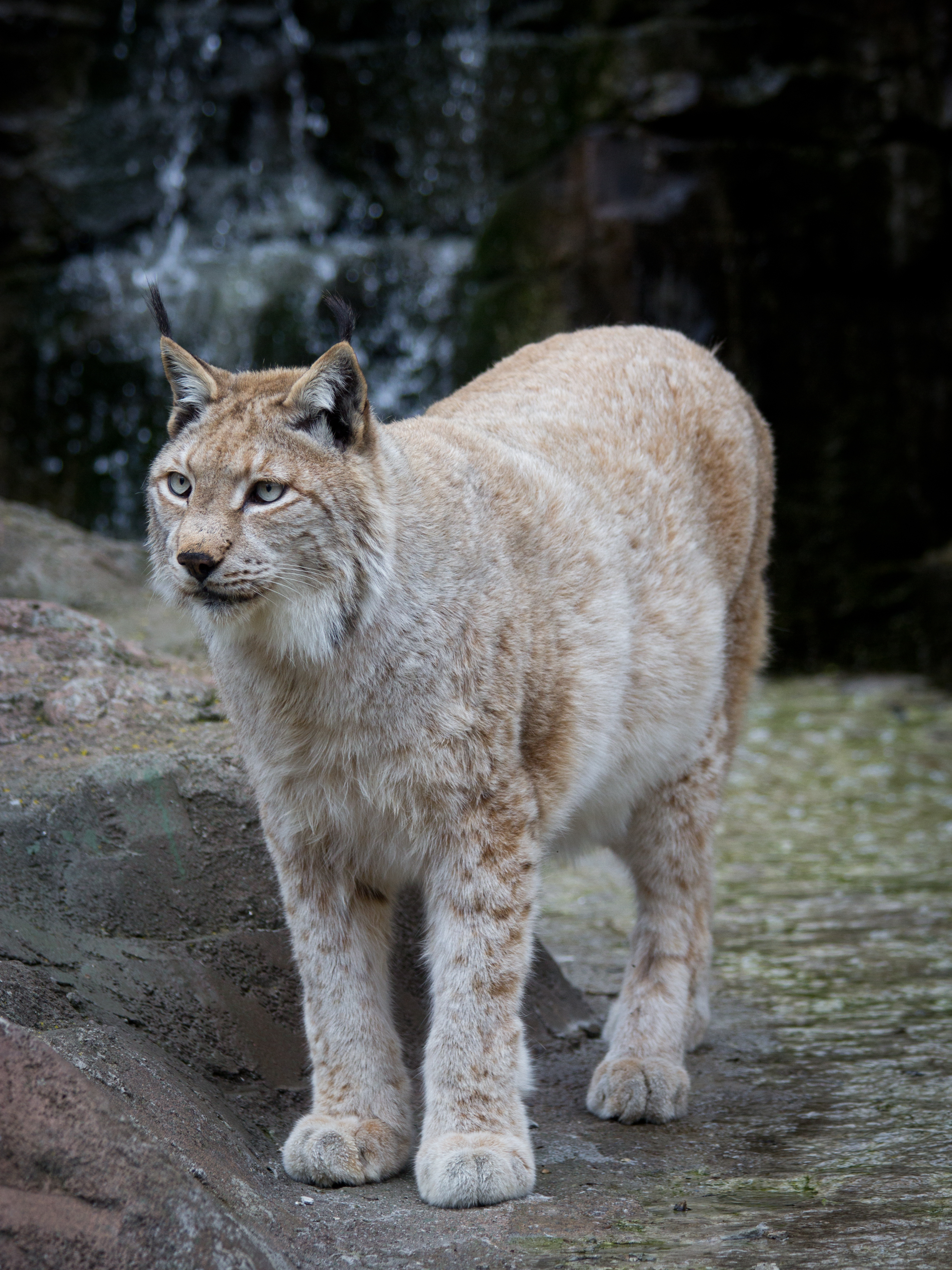 Show Me Pictures Of A Lynx Cat