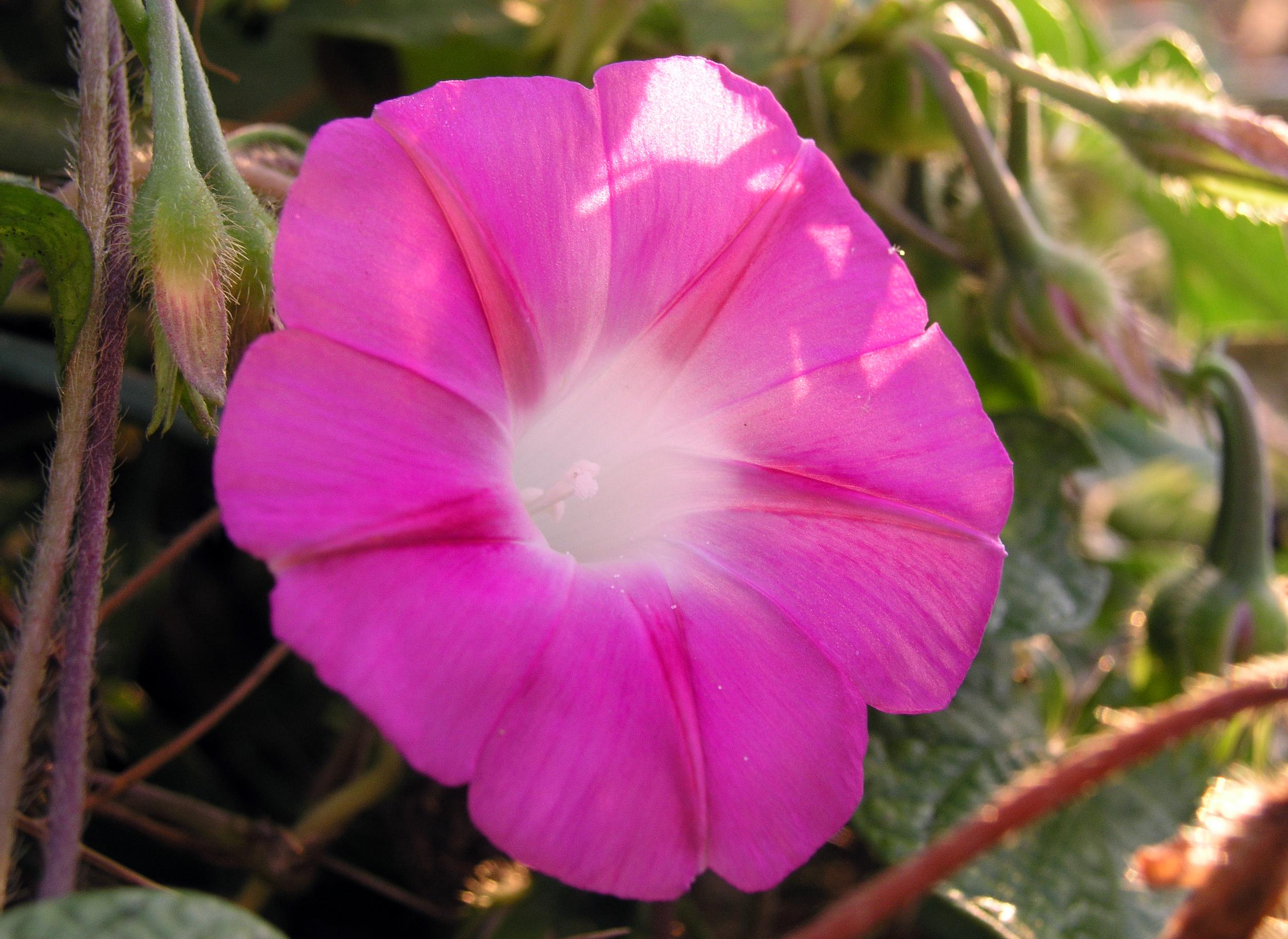 File MorningGlory Pink Wikimedia mons