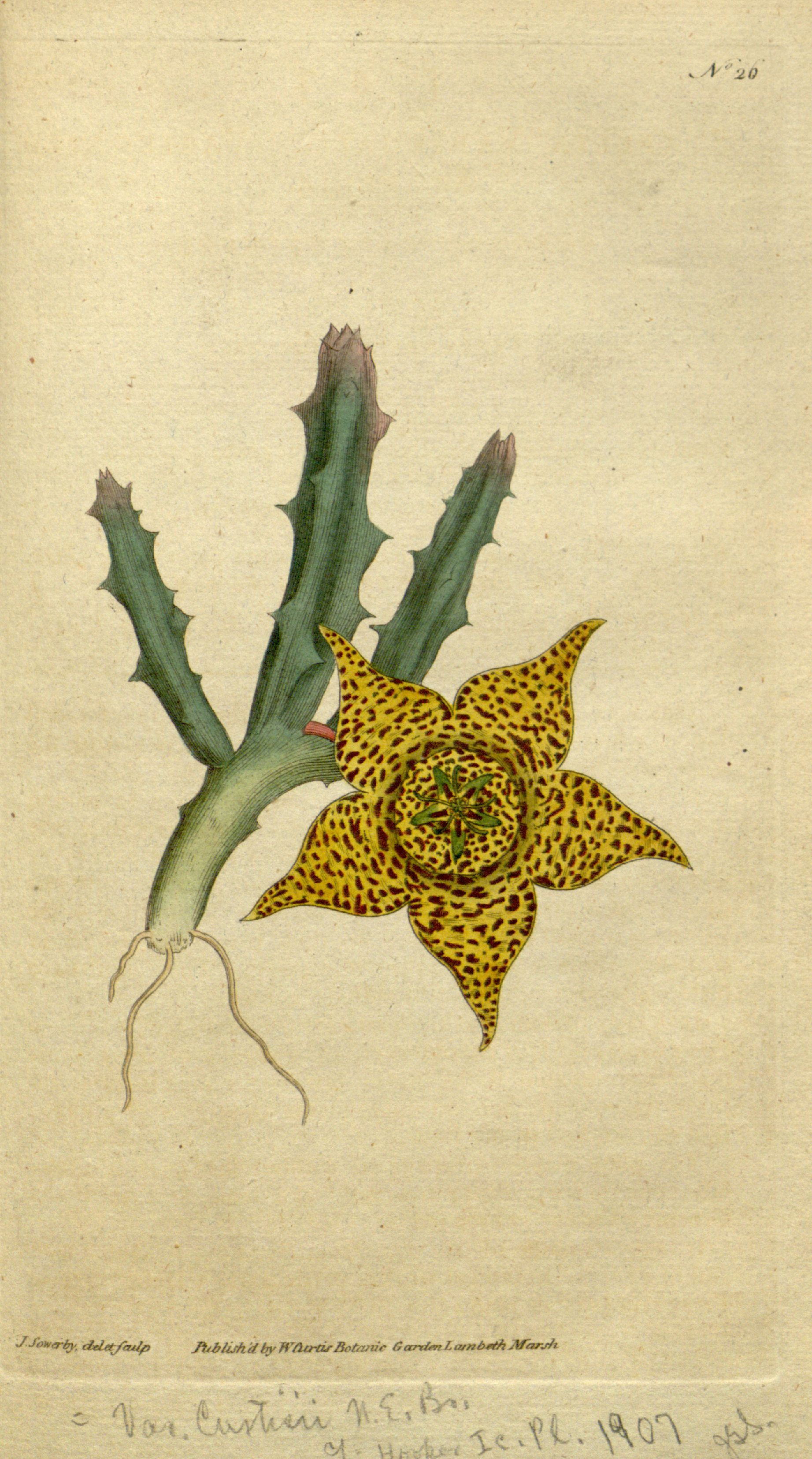 File orbea variegata as stapelia variegata curtis 1 26 for Stapelia variegata