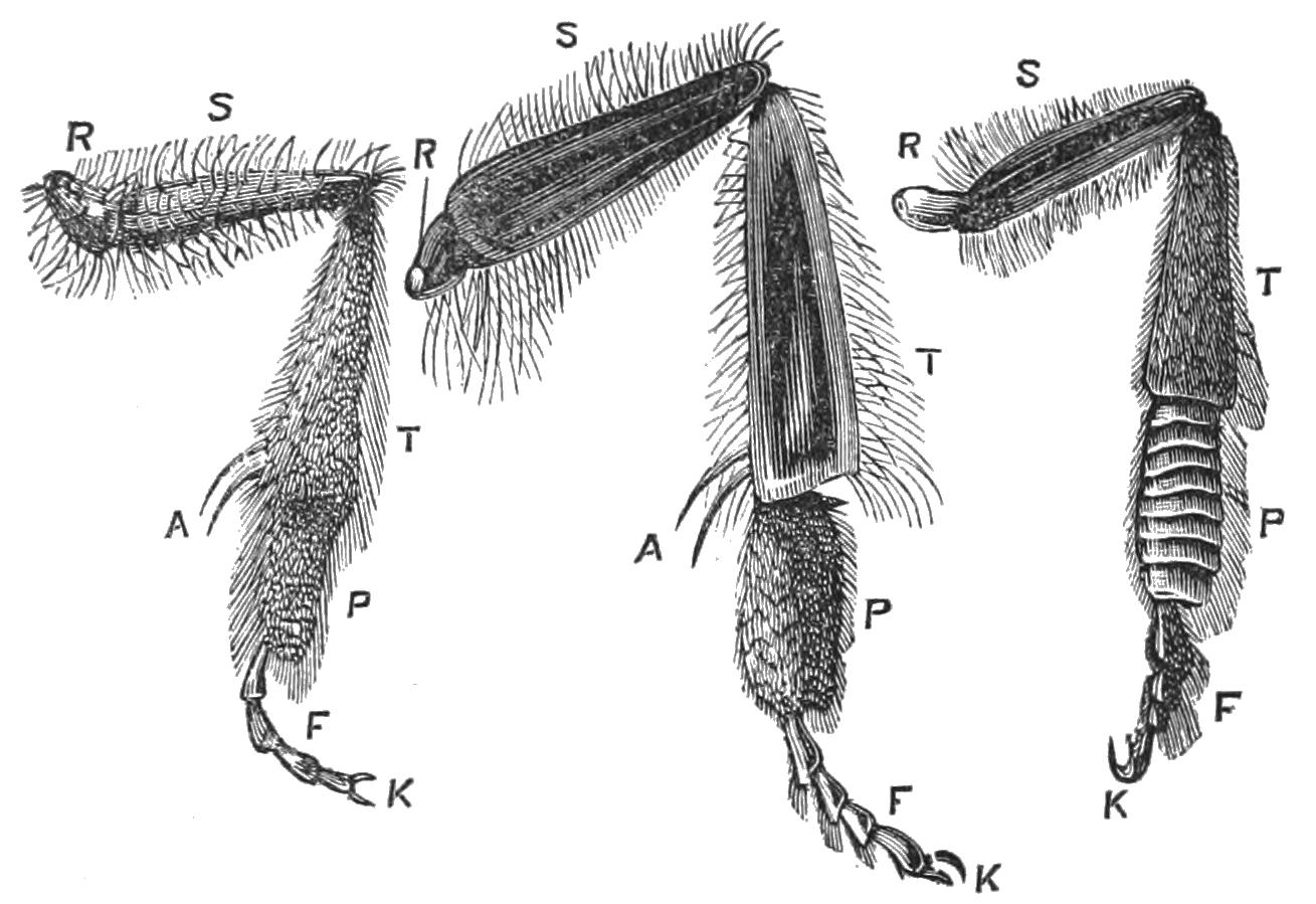 File:PSM V27 D623 Hind legs of bees.jpg - Wikimedia Commons